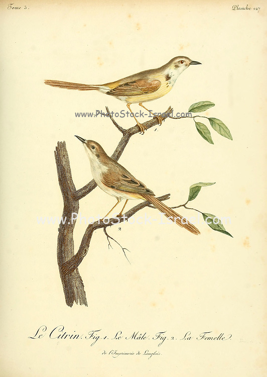 The citrine wagtail (Motacilla citreola) is a small songbird in the family Motacillidae. from the Book Histoire naturelle des oiseaux d'Afrique [Natural History of birds of Africa] Volume 3, by Le Vaillant, François, 1753-1824; Publish in Paris by Chez J.J. Fuchs, libraire 1799 - 1802