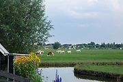 Cows grazing in  pasture onNetherlands canal