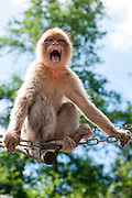 Aggressive Growling Monkey baring teeth