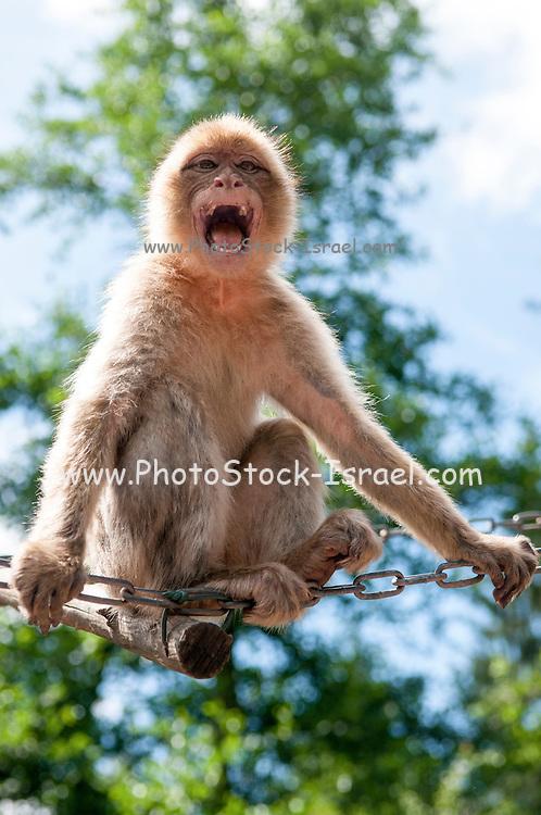 Aggressive Growling Monkey baring teeth