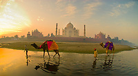 Boys walking with their camels through the shallow water of the Yamuna River, with the Taj Mahal in background, at sunrise, Agra, Uttar Pradesh, India