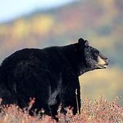 Black Bear, (Ursus americanus) Browsing on tundra in Denali National Park. Alaska. Autumn.