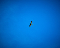 Sharp-shinned Hawk soaring over Hovenweep National Monument. Image taken with a Nikon D300 camera and 80-400 mm VR lens (ISO 200, 80 mm, f/11, 1/640 sec).