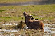 Indian Sambar, Rusa unicolor, male deer feeding in Rajbagh Lake in Ranthambhore National Park, Rajasthan, India