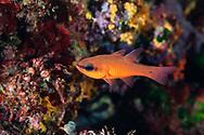 Cardinal fish-Apogon (Apogon imberbis) of mediterranean sea.