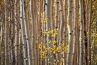 A tiny aspen tree with golden leaves remains standing among the forest of aspen tree trunks in Utah's Wasatch Mountains.