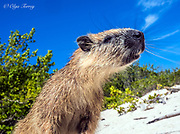 The Desmarest's hutia (the Cuban hutia) is the rodent endemic to Cuba.
