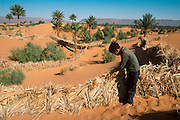 MOROCCO, SAHARA DESERT desertification; holding dunes with fences to save desert village in Dra River Valley, near Zagora
