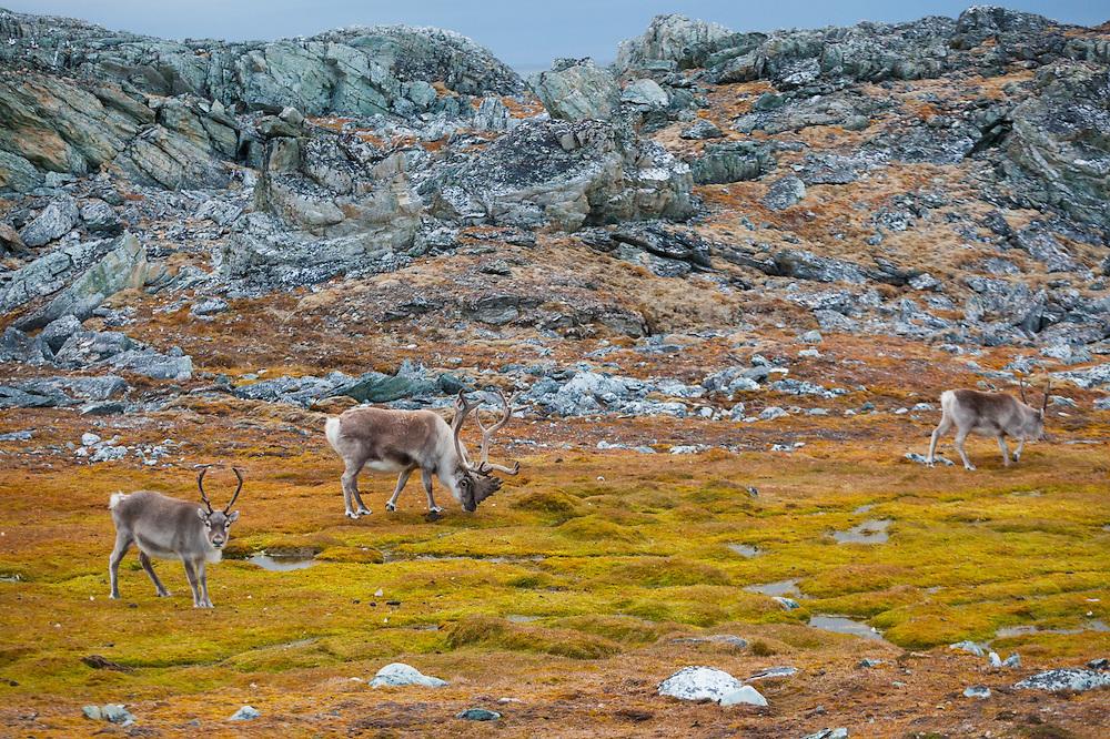 Reindeer (Rangifer tarandus) on the coast near Hyttevika, Svalbard.