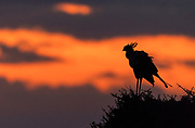 Secretarybird (Sagittarius serpentarius) against the rising sun in Maasai Mara, Kenya.