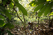 Kouassi Konan Cedric, 12, uses a machete to clear dry leaves under cocoa trees on his family's cocoa plantation near the village of Soumaorodougou, Bas-Sassandra region, Cote d'Ivoire on Saturday March 3, 2012. He goes to school but help with farming chores on weekends.