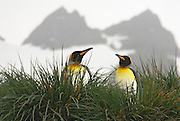 King Penguin couple stand in the tussock grass with two twin mountains in the background.