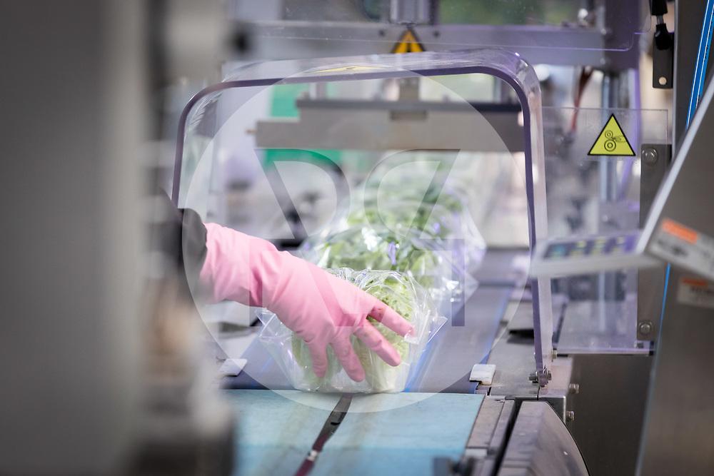 SCHWEIZ - NIEDERBIPP - In Plastikfolie eingepackte <br /> Minilattichsalate auf einer Verpackungsanlage bei Bösiger Gemüsenkulturen AG - 21. Juni 2019 © Raphael Hünerfauth - http://huenerfauth.ch