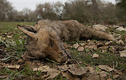 Israel, A dead wolf probably poisoned by insecticides