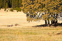 The afternoon sun shines on an autumn  colored Garry Oak, (Quercus garryana), and abandoned antique wagon wheels and axels in a pasture at the Conboy Lake National Wildlife Refuge near Glenwood, Klickitat County, WA, USA
