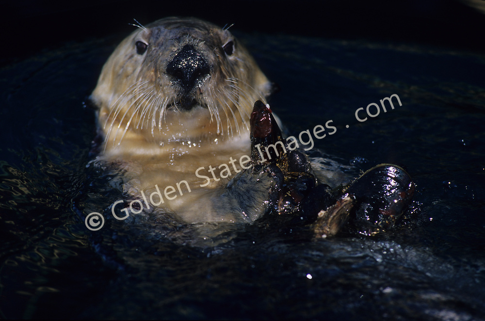 Otters live in shallow coastal waters among kelp beds and areas rich with shellfish.    <br /> <br /> Sea Otters have no blubber layer unlike seals and sea lions otters rely completely on their thick fur to trap air for insulation.  <br /> <br /> California Sea Otters grow to be quite large. At about 4 feet in length females can weigh about 45 pounds and males can exceed 65.    <br /> <br /> A Sea Otter warps up in kelp to anchor itself for an afternoon nap.   <br /> <br /> Range: Alaska to California Coast <br /> <br /> Species: Enhydra lutris