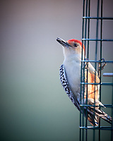Red-breasted Woodpecker. Image taken with a Nikon D5 camera and 600 mm f/4 VR telephoto lens (ISO 1600, 600 mm, f/4, 1/500 sec).