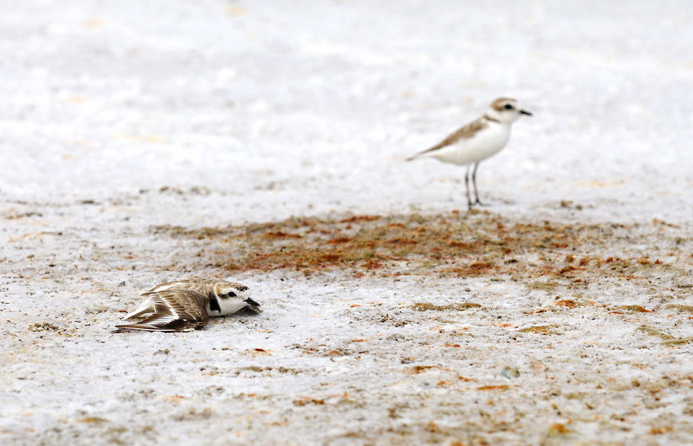 San Francisco Bay Bird Observatory - Snowy Plover Monitoring and Conservation