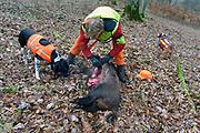 Duitsland, Marburg, 1-12-2013Nederlandse jagers jagen in Duitsland op groot wild. Jagers uit Nederland schrijven regelmatig in op Duitse jachtgelegenheden. een pas geschoten wildzwijn wordt van haar ingewanden ontdaan.Volgens het Duitse Forstamt dient de jacht het behoud en bescherming van het natuurlijke bos-ecosysteem, het behoud van gezonde populaties wilde dieren, evenals de afweging van de belangen van de bosbouw en landbouw en het stimuleren van de ontwikkeling van soortenrijke bossen met het streven om wildschade te voorkomen.Foto: Flip Franssen