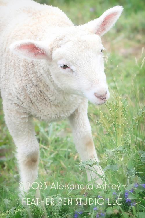 White lamb on central Ohio working dairy farm.