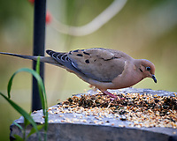 Mourning Dove feeding. Image taken with a Nikon D5 camera and 600 mm f/4 VR lens (ISO 1600, 600 mm, f/5.6, 1/500 sec).