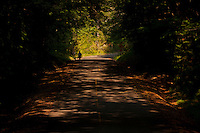 a silhouetted person walking along a rural Kitsap County road with a tunnel of Bigleaf Maple trees shading the road