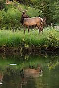 A North American elk grazes along a pond in downtown Estes Park, Colorado.