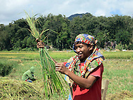 Young man wearing a colorful scarf around his head harvests rice in Tana Toraja Regency, South Sulawesi, Indonesia, Southeast Asia