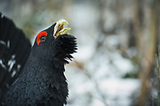 "Portrait of lekking Capercaillie (Tetrao urogallus) with erect ""beard"" and bright red eyebrow, Latvia Ⓒ Davis Ulands 