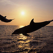 Bottlenose Dolphin, (Tursiops truncatus) Jumping at sunset in the Gulf of Mexico. Honduras.  Controlled Conditions.