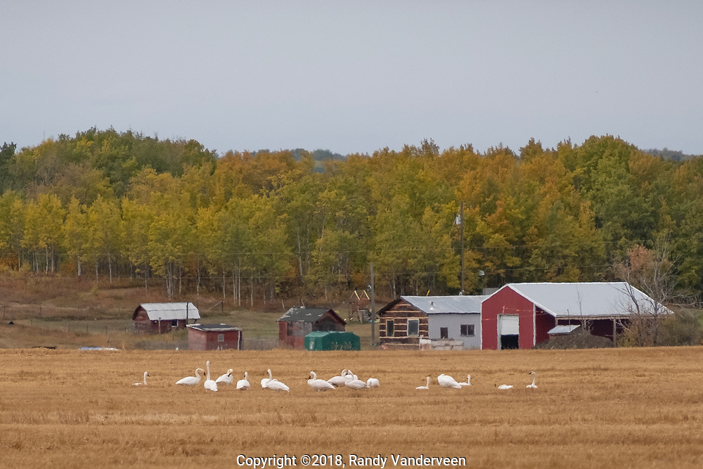 Photo Randy Vanderveen<br /> Grande Prairie, Alberta<br /> 2018-09-26<br /> A small flock of trumpeter swans forage in a field west of LaGlace Wednesday afternoon. At this time of year geese, swans and other birds are a common sight in area fields as the feed to build up strength for their southern migration.