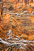 A March snowstrom coats the pine trees and brush on the cliff ledges of the Temple of Sinawava in Zion National Park,  Utah.