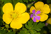 The yellow creeping buttercup (Ranunculus repens) flowers bloom next to Robert geranium (Geranium robertianum) in a field in Snohomish County, Washington. Both plans are native to Europe, Asia and northwestern Africa and are considered weeds in North America.