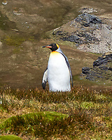 King Penguin (Aptenodytes patagonicus). Stormness, South Georgia. Image taken with a Leica T camera and 18-55 mm lens.