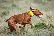 SHOT 5/9/20 8:57:50 AM - Various pointing breeds compete in the Vizsla Club of Colorado Licensed Hunt Test Premium at the Rocky Mountain Sporting Dog Club Grounds in Keenesburg, Co. (Photo by Marc Piscotty / © 2020)