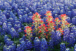 Indian paintbrush (Castilleja indivisa) and bluebonnets (Lupinus texensis) in field, Ennis, Texas USA. Tentative ID.