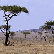 Cheetah, (Acinonyx jubatus) Mother and cubs seek shade under acacia tree. Masai Mara Game Reserve. Kenya. Africa.