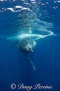 humpback whale, Megaptera novaeangliae, young male approaching the camera, Nomuka group, Ha'apai Islands, Kingdom of Tonga, South Pacific