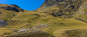 Mountain sheep and goats in Val de Tena at Formigal in Spanish Pyrenees mountains, Spain