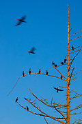 A dozen double-crested cormorants (Phalacrocorax auritus) roost in a tree along the Sammamish River in Kenmore, Washington, as others fly in to join as sunset approaches.