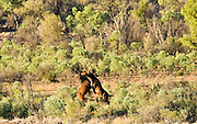 Mustangs fighting in the Red Centre, Northern Territory, Australia
