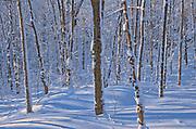 Deciduous trees on Brackenridge Road covered in snow<br />Bracebridge<br />Ontario<br />Canada