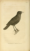 Whistling Thrush (Myophonus Metallicus) from volume XIII (Aves) Part 2, of 'General Zoology or Systematic Natural History' by British naturalist George Shaw (1751-1813). Griffith, Mrs., engraver. Heath, Charles, 1785-1848, engraver. Stephens, James Francis, 1792-1853 Published in London in 1825 by G. Kearsley