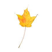 A bright yellow Red Maple leaf (Acer rubrum), Bar Harbor, Maine