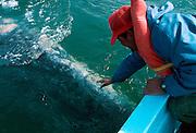 MEXICO, BAJA CALIFORNIA Laguna San Ignacio; Grey Whales