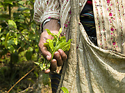 A Khmu ethnic minority woman harvests tea leaves, Ban Nam Thuan, Phongsaly province, Lao PDR. Rural communities are being impelled to move from swidden to sedentary agriculture and many subsistence farmers are turning to the cultivation of cash crops such as tea.