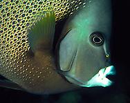 Gray Angelfish (Pomacanthus arcuatus).  Bonaire