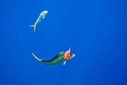 mahi mahi, common dolphinfish or dorado, Coryphaena hippurus, hooked on a trolling jet lure, being accompanied by the other free-swimming mahi mahi which is trying to attack the lure, off Kona Coast, Big Island, Hawaii, Pacific Ocean