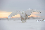 Snowy Owl (Nyctea scandiaca) walking on snow, Quebec, Canada