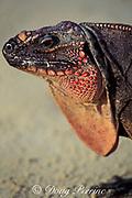 Allen's Cay iguana, Cyclura cychlura inornata, Bahamas, ( Western Atlantic Ocean )